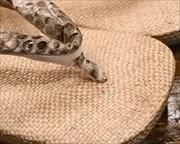 ケンマ草草履にニシキヘビ革花緒 前壷